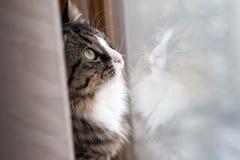 猫看窗口 坐窗台和看对窗口的美丽的猫 库存图片
