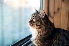 猫看窗口 坐窗台和看对窗口的美丽的猫 免版税库存图片