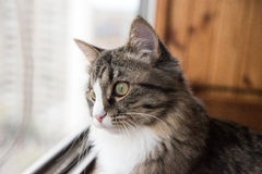 猫看窗口 坐窗台和看对窗口的美丽的猫 库存照片