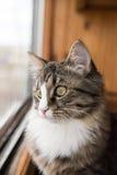 猫看窗口 坐窗台和看对窗口的美丽的猫 免版税库存照片
