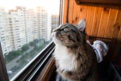 猫看窗口 坐窗台和看对窗口的美丽的猫 图库摄影