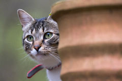 猫看从罐的后面 免版税库存照片