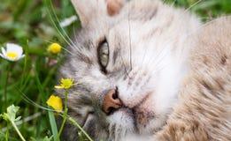 猫眨眼说谎在草的眼睛 免版税库存照片