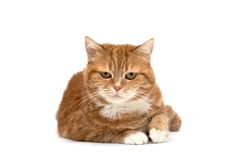 猫眼橙红 图库摄影