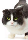 猫眼纵向黄色 免版税库存照片