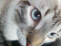 猫眼 免版税库存照片
