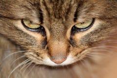 猫眼 免版税图库摄影