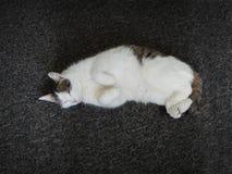 猫睡着 免版税库存照片