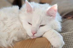 猫睡觉 免版税图库摄影