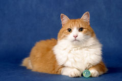 猫神秘主义者 免版税库存图片