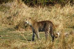 猫科豹属Pardus 免版税图库摄影