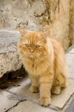 猫红头发人 免版税库存图片