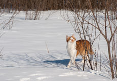 猫红色步行冬天 免版税库存照片