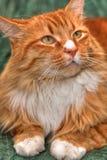猫红色 免版税库存图片
