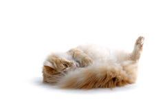 猫红色 库存图片
