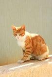 猫红色 免版税图库摄影