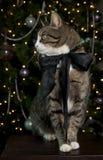 猫纵向平纹 免版税库存图片