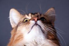 猫纵向索马里的rudy 免版税图库摄影