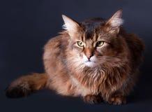 猫纵向索马里的rudy 库存图片