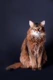 猫纵向索马里的rudy 库存照片