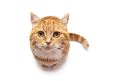 猫纵向红色s 免版税库存图片