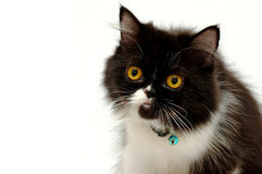 猫纵向 免版税库存图片