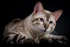 猫纵向s 免版税库存照片