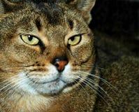 猫老明智 库存照片
