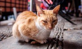 猫肖象 免版税库存照片