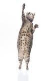 猫肥胖嬉戏的平纹 免版税库存图片
