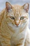 猫肥胖桔子 免版税库存照片