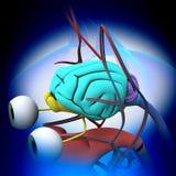 猫脑子解剖学-猫脑子的解剖学 库存照片