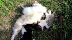 猫舔小的小猫 股票视频