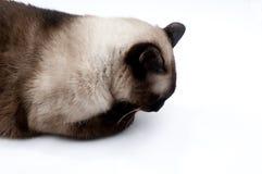 猫舔暹罗语 图库摄影