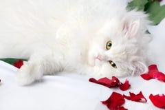 猫良种白色 图库摄影