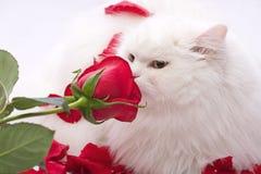 猫良种白色 库存图片