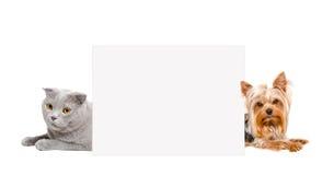 猫苏格兰人折叠和约克夏狗,偷看从后面横幅 库存图片