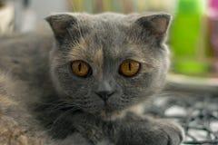 猫苏格兰人 免版税图库摄影