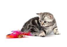 猫苏格兰平直 免版税库存照片