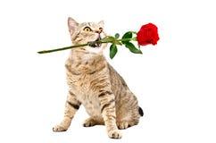 猫苏格兰直接与在他的嘴的一朵玫瑰 免版税库存图片