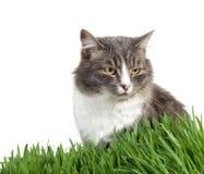 猫草 免版税图库摄影