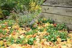 猫薄荷在秋天庭院里 免版税图库摄影