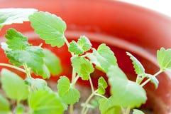 猫薄荷植物 库存照片
