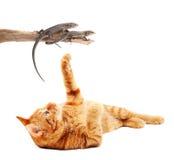 猫蜥蜴使用 图库摄影