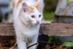 猫蠕动通过一个木板,长着大髭须的白色红色猫在秋天 免版税图库摄影