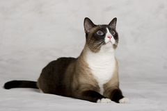 猫被射击的暹罗工作室 免版税库存图片