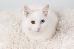 猫被注视的多的白色 免版税库存图片