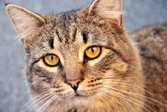 猫被注视的平纹黄色 库存照片
