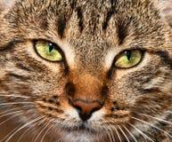 猫被注视的纵向平纹黄色 图库摄影
