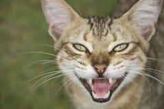 猫装腔作势地说的开放 图库摄影